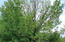 Crown Dieback Caused By Emerald Ash Borer
