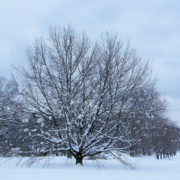 winter worn tree