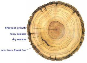 tree age rings environment
