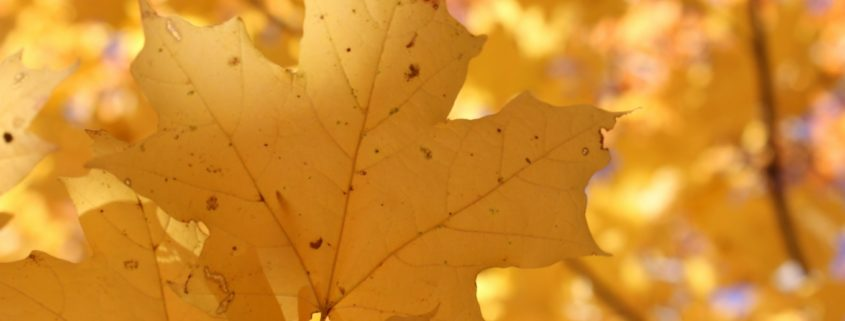 yellow leaves brockley tree service changing colour brockley tree london ontario