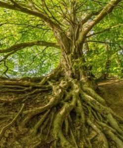 fertilize deep tree roots - brockley tree