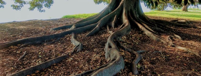 deep root fertilization - brockley tree