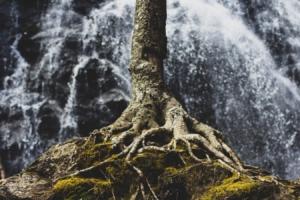 tree roots fertilize - brockley tree