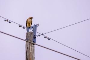 bird on electric pole - brockley tree