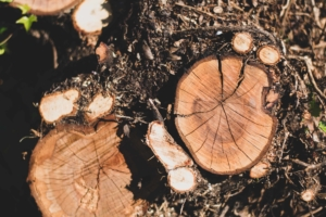 Brockleytree-tree stump-clean up